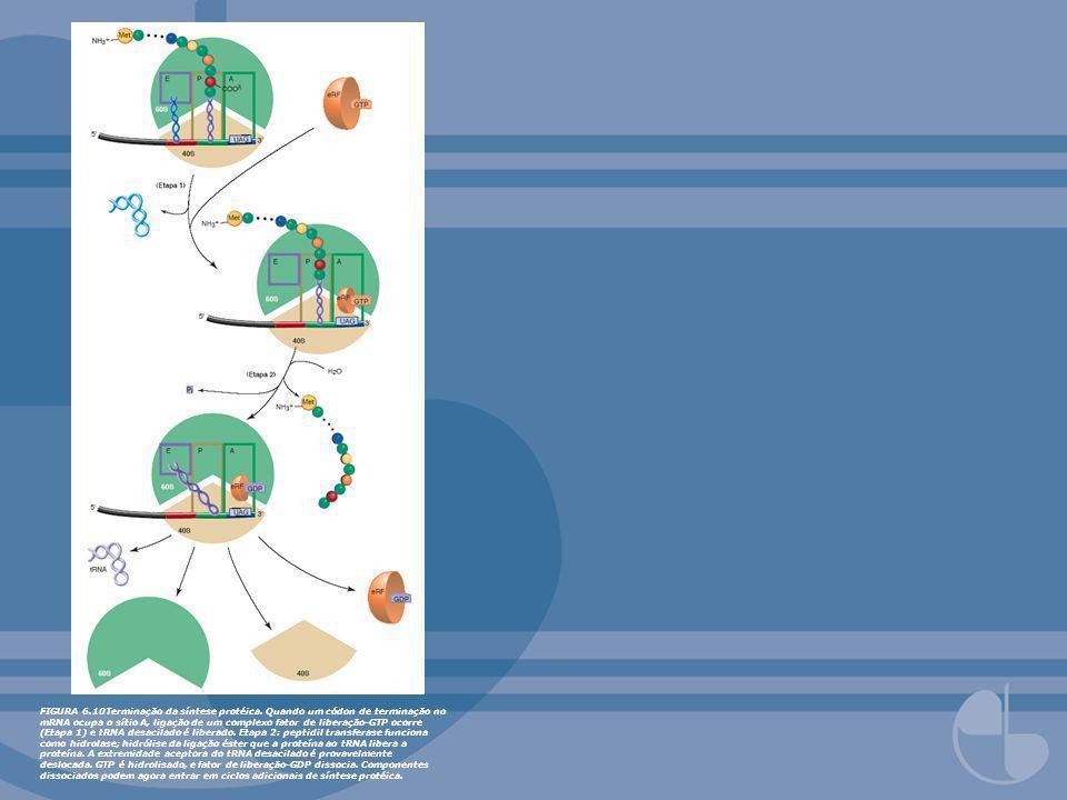 FIGURA 6.10Terminação da síntese protéica. Quando um códon de terminação no mRNA ocupa o sítio A, ligação de um complexo fator de liberação-GTP ocorre