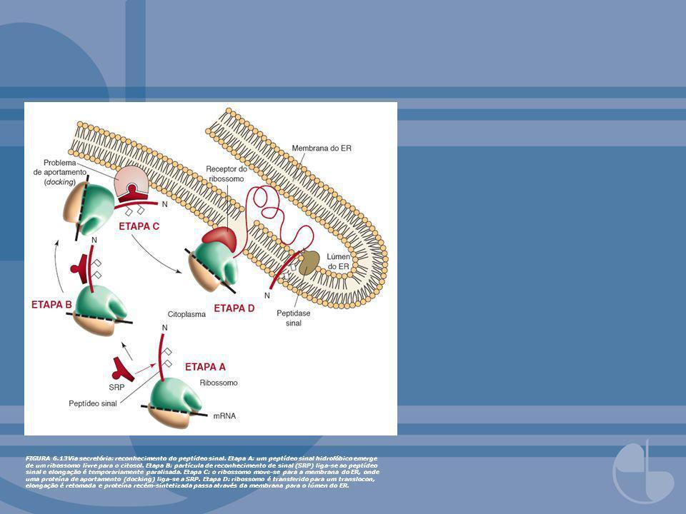 FIGURA 6.13Via secretória: reconhecimento do peptídeo sinal. Etapa A: um peptídeo sinal hidrofóbico emerge de um ribossomo livre para o citosol. Etapa