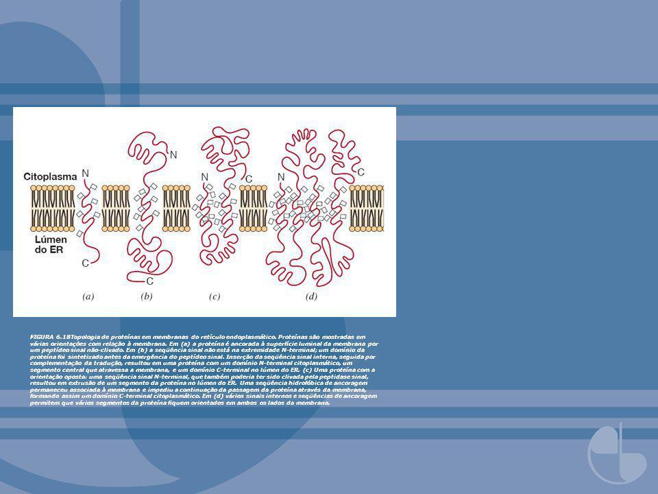 FIGURA 6.18Topologia de proteínas em membranas do retículo endoplasmático. Proteínas são mostradas em várias orientações com relação à membrana. Em (a