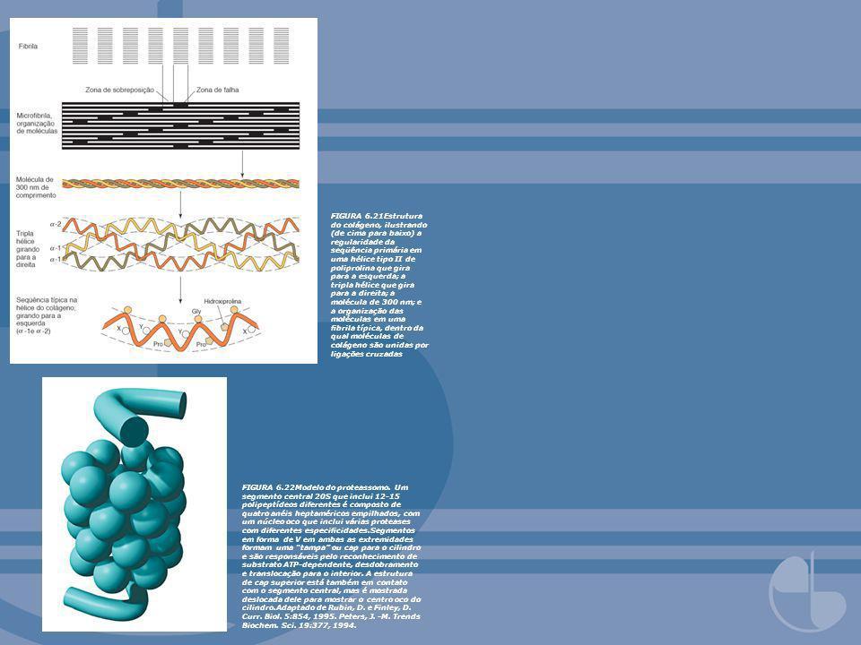 FIGURA 6.21Estrutura do colágeno, ilustrando (de cima para baixo) a regularidade da seqüência primária em uma hélice tipo II de poliprolina que gira p