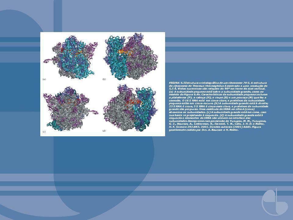 FIGURA 6.5Estrutura cristalográca de um ribossomo 70 S. A estrutura do ribossomo de Thermus thermophilus é mostrada a uma resolução de 5,5 Å. Vistas s