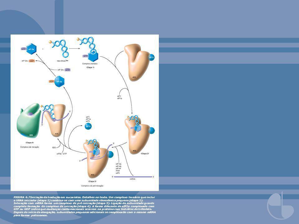 FIGURA 6.7Iniciação da tradução em eucariotos. Detalhes no texto. Um complexo ternário que inclui o tRNA iniciador (etapa 1) combina-se com uma subuni