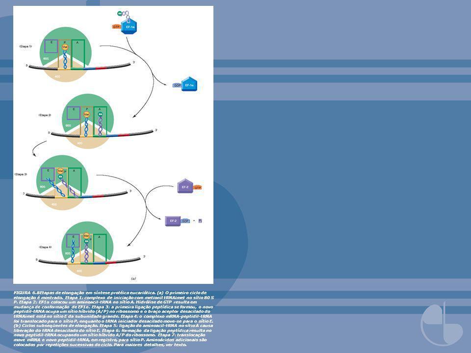 FIGURA 6.8Etapas de elongação em síntese protéica eucariótica. (a) O primeiro ciclo de elongação é mostrado. Etapa 1: complexo de iniciação com metion