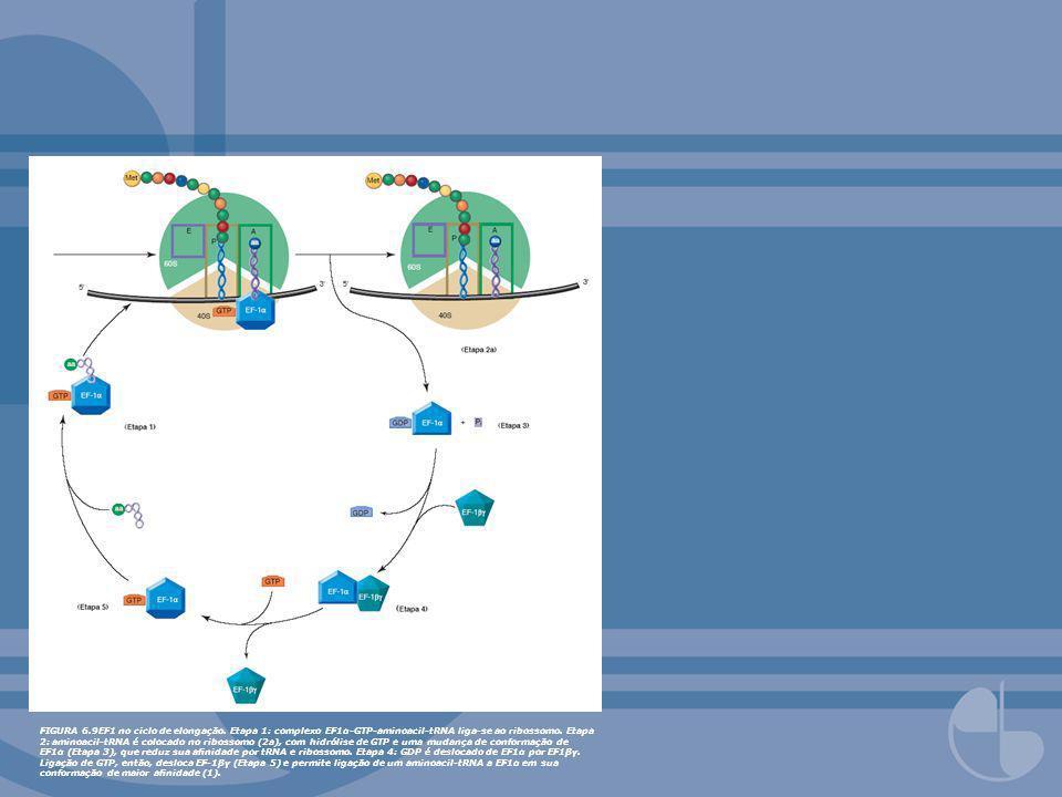 FIGURA 6.9EF1 no ciclo de elongação. Etapa 1: complexo EF1α-GTP-aminoacil-tRNA liga-se ao ribossomo. Etapa 2: aminoacil-tRNA é colocado no ribossomo (