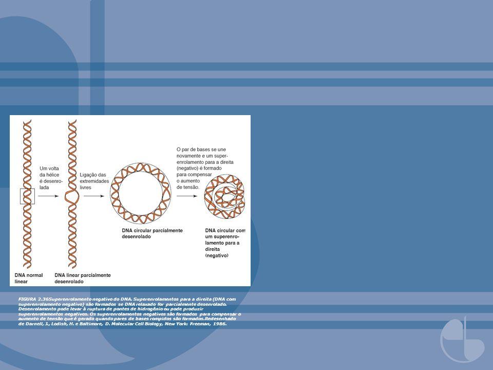 FIGURA 2.36Superenrolamento negativo do DNA. Superenrolamentos para a direita (DNA com superenrolamento negativo) são formados se DNA relaxado for par