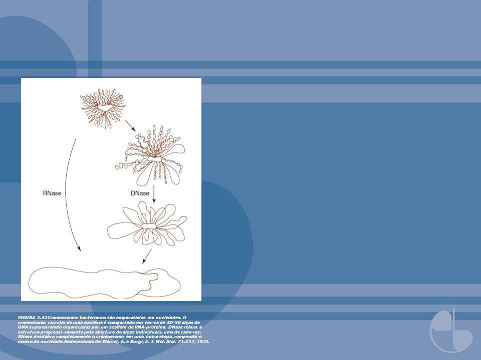 FIGURA 2.41Cromossomos bacterianos são empacotados em nucleóides. O cromossomo circular de uma bactéria é compactado em cer-ca de 40-50 alças de DNA s