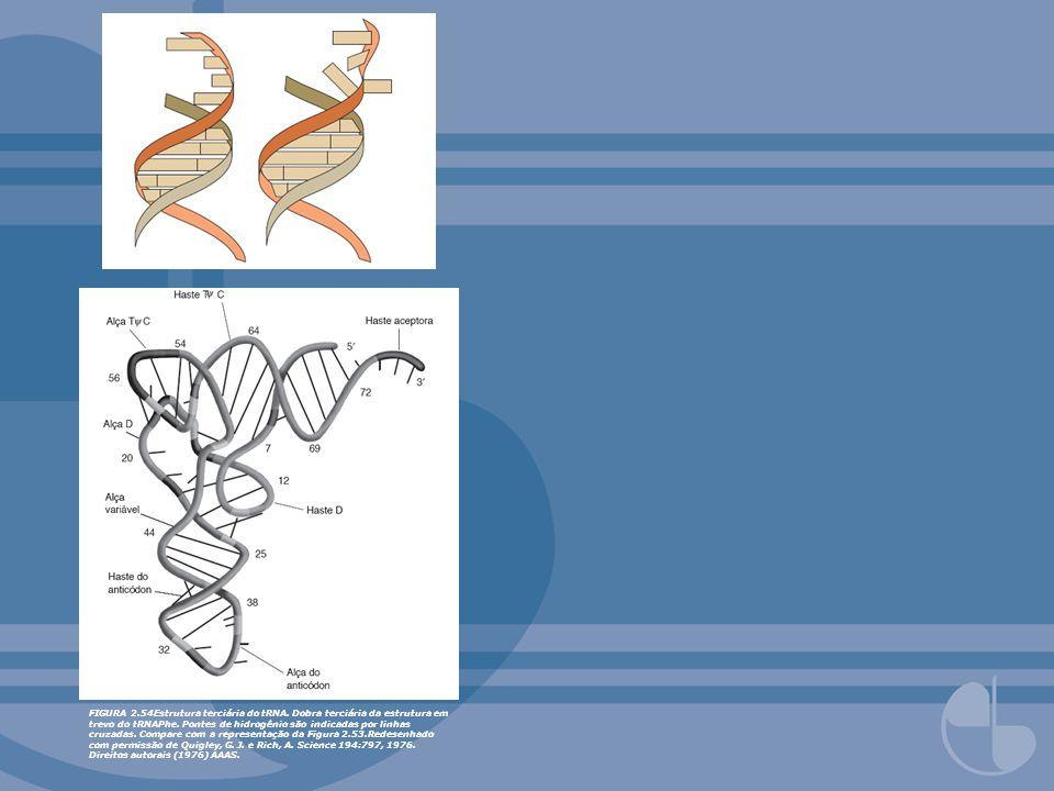 FIGURA 2.54Estrutura terciária do tRNA. Dobra terciária da estrutura em trevo do tRNAPhe. Pontes de hidrogênio são indicadas por linhas cruzadas. Comp