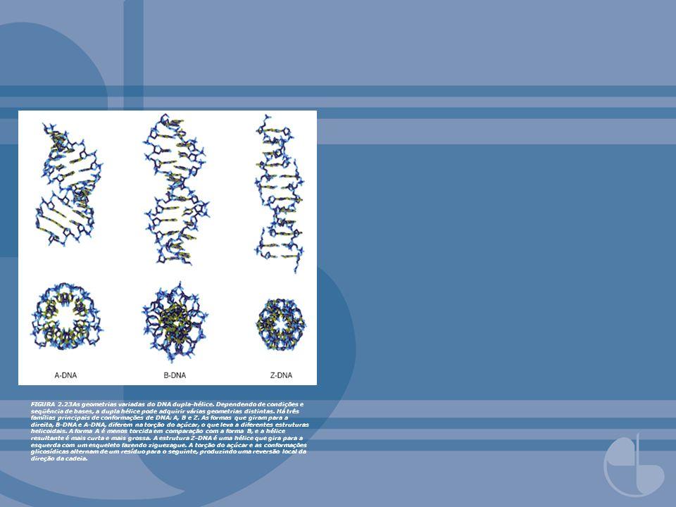 FIGURA 2.23As geometrias variadas do DNA dupla-hélice. Dependendo de condições e seqüência de bases, a dupla hélice pode adquirir várias geometrias di
