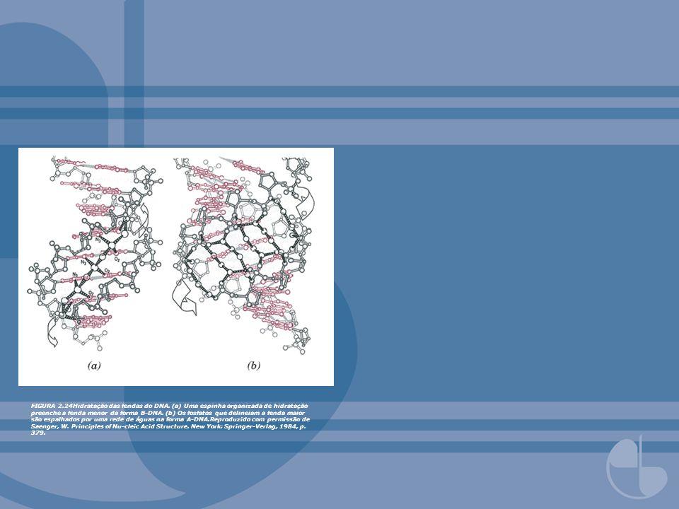 FIGURA 2.24Hidratação das fendas do DNA. (a) Uma espinha organizada de hidratação preenche a fenda menor da forma B-DNA. (b) Os fosfatos que delineiam