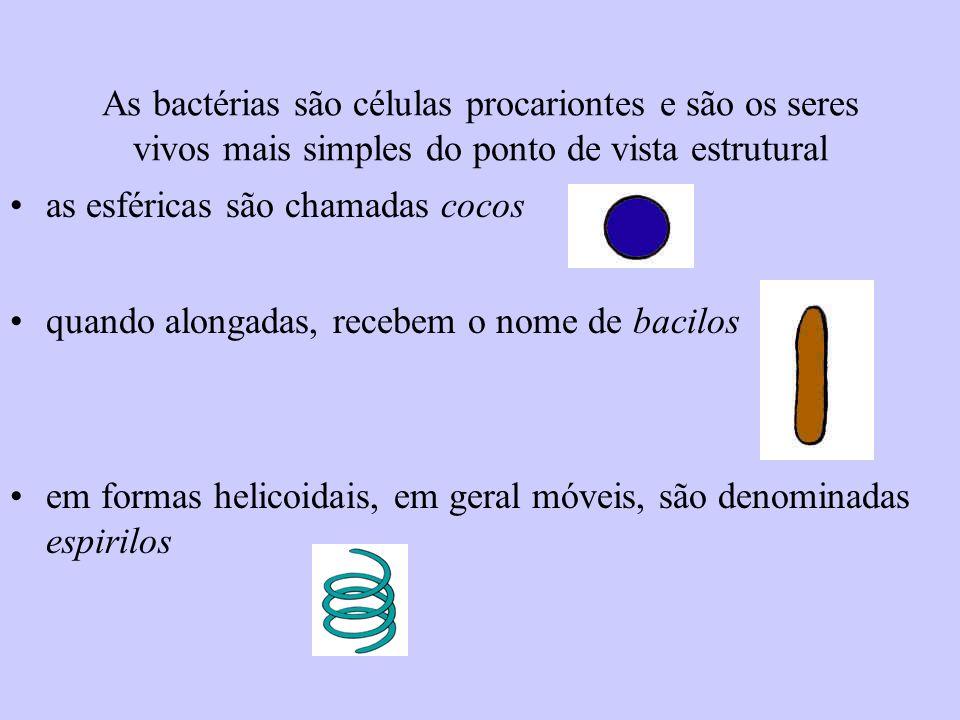 As bactérias são células procariontes e são os seres vivos mais simples do ponto de vista estrutural as esféricas são chamadas cocos quando alongadas,
