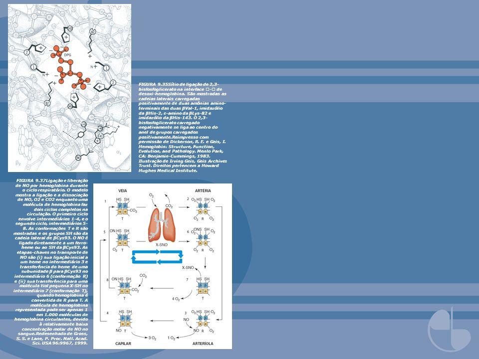 FIGURA 9.35Sítio de ligação de 2,3- bisfosfoglicerato na interface - de desoxi-hemoglobina. São mostradas as cadeias laterais carregadas positivamente
