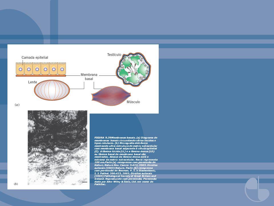 FIGURA 9.39Membranas basais. (a) Diagrama de membranas basais circundando vários tecidos e tipos celulares. (b) Micrograa eletrônica mostrando ultra-e