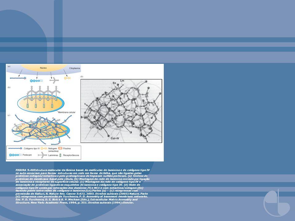 FIGURA 9.40Estrutura molecular da lâmina basal. As moléculas de laminina e de colágeno tipo IV se auto-associam para formar estruturas em rede em form