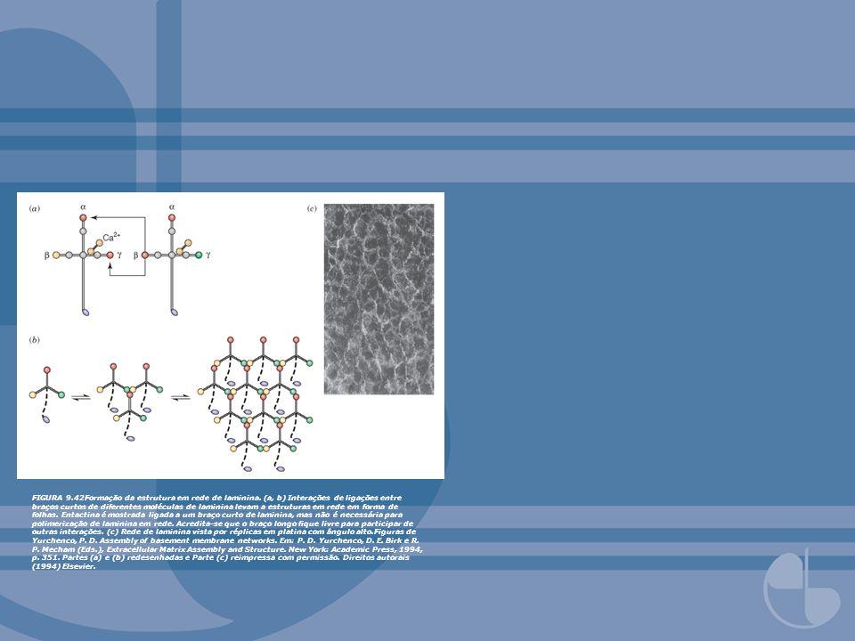 FIGURA 9.42Formação da estrutura em rede de laminina. (a, b) Interações de ligações entre braços curtos de diferentes moléculas de laminina levam a es