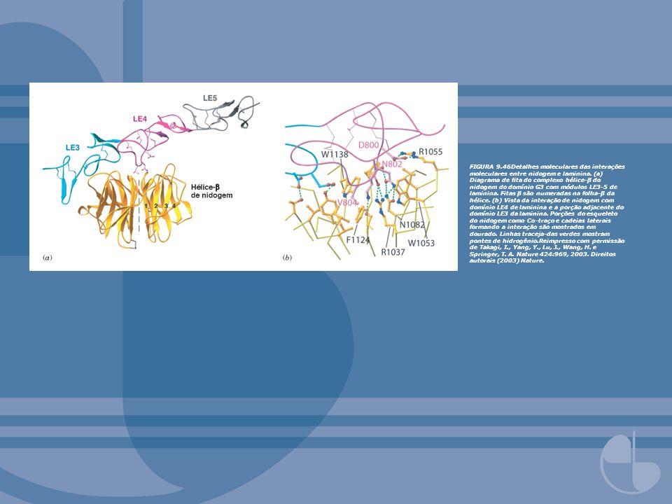 FIGURA 9.46Detalhes moleculares das interações moleculares entre nidogem e laminina. (a) Diagrama de ta do complexo hélice-β do nidogem do domínio G3