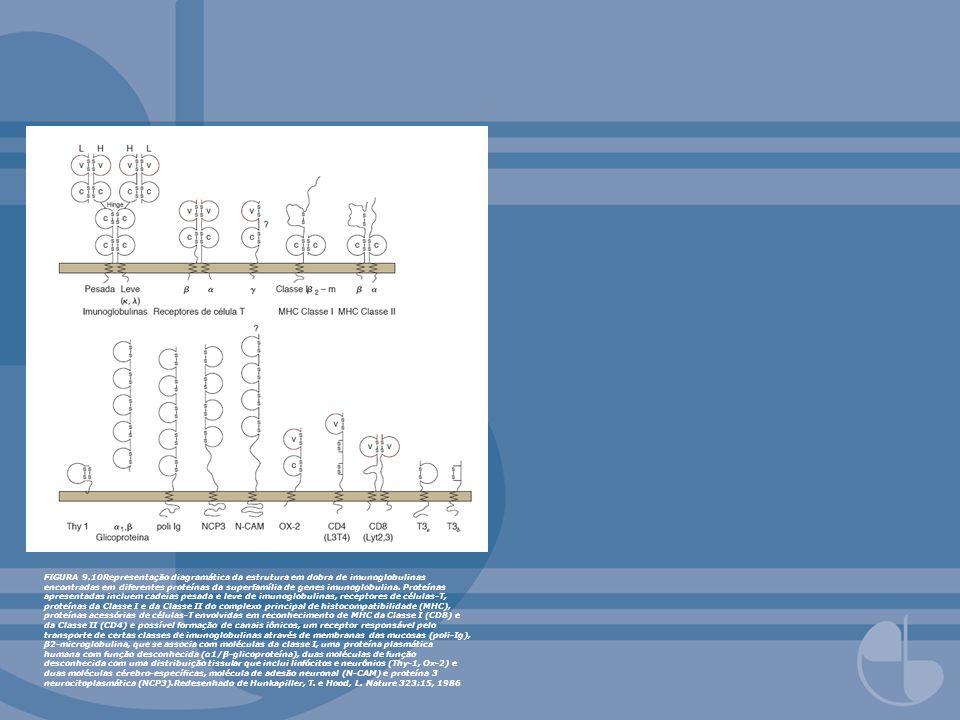 FIGURA 9.10Representação diagramática da estrutura em dobra de imunoglobulinas encontradas em diferentes proteínas da superfamília de genes imunoglobu
