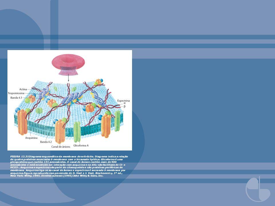 FIGURA 12.31Diagrama esquemático da membrana do eritrócito. Diagrama indica a relação de quatro proteínas associadas à membrana com a bicamada lipídic