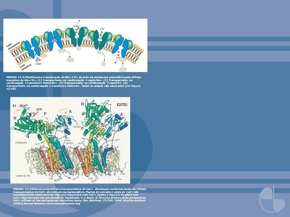 FIGURA 12.53Estrutura da ATPase transportadora de Ca2+. Mudanças conformacionais da ATPase transportadora de Ca2+ do retículo sarcoplasmático. Pontos