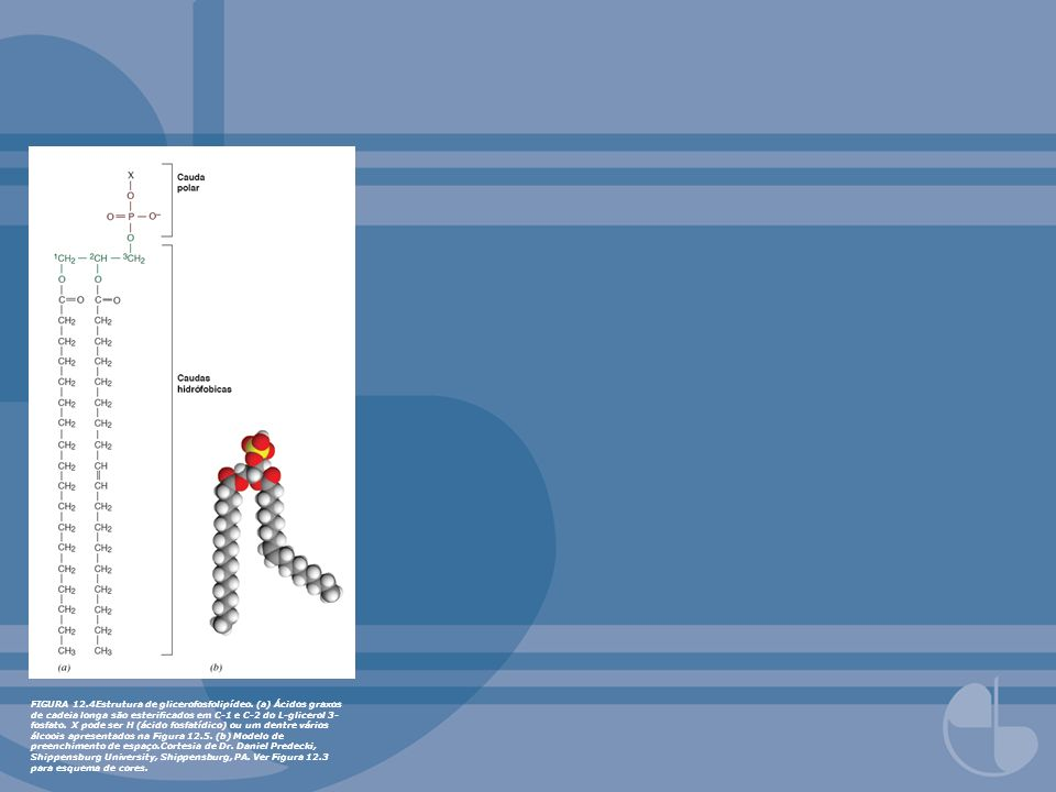 FIGURA 12.4Estrutura de glicerofosfolipídeo. (a) Ácidos graxos de cadeia longa são estericados em C-1 e C-2 do L-glicerol 3- fosfato. X pode ser H (ác