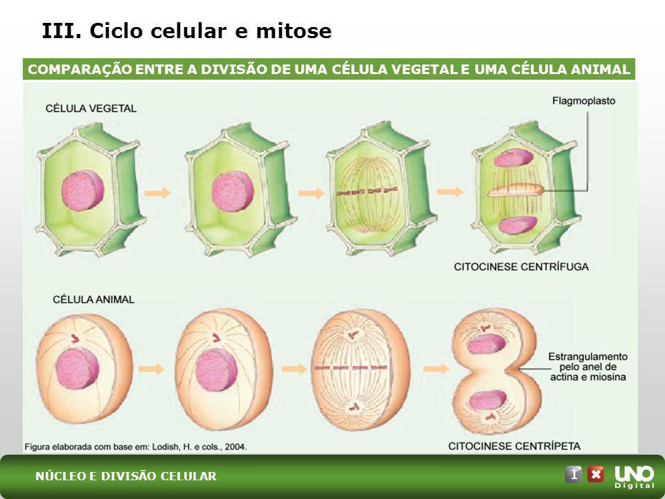 III. Ciclo celular e mitose COMPARAÇÃO ENTRE A DIVISÃO DE UMA CÉLULA VEGETAL E UMA CÉLULA ANIMAL NÚCLEO E DIVISÃO CELULAR