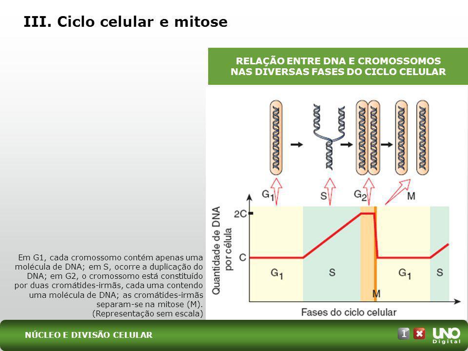 III. Ciclo celular e mitose Em G1, cada cromossomo contém apenas uma molécula de DNA; em S, ocorre a duplicação do DNA; em G2, o cromossomo está const