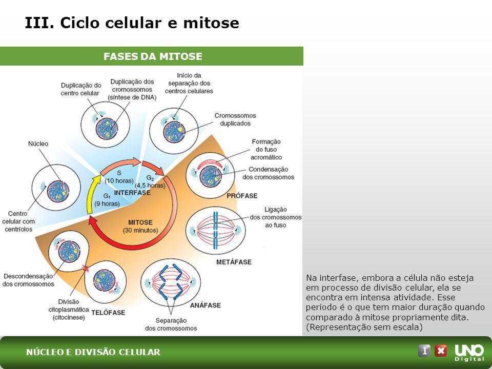 III. Ciclo celular e mitose Na interfase, embora a célula não esteja em processo de divisão celular, ela se encontra em intensa atividade. Esse períod