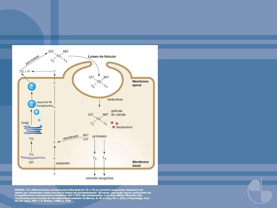 FIGURA 23.14Mecanismos celulares para liberação de T3 e T4 na corrente sangüínea. Seqüestro de iodeto por membrana basal concentra iodeto aproximadame