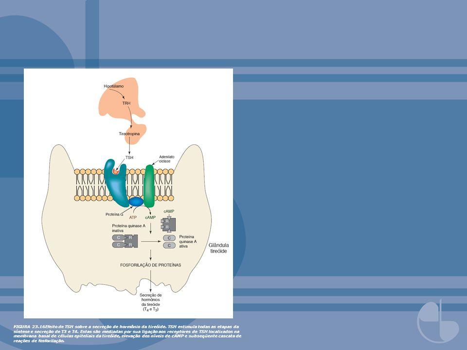 FIGURA 23.16Efeito de TSH sobre a secreção de hormônio da tireóide. TSH estimula todas as etapas da síntese e secreção de T3 e T4. Estas são mediadas