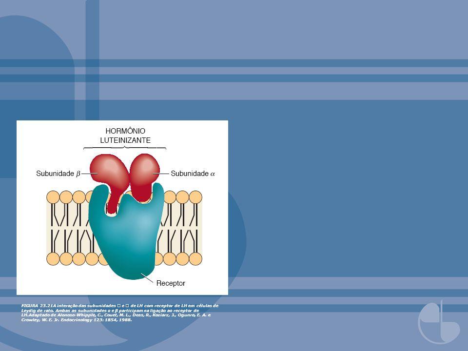 FIGURA 23.21A interação das subunidades e de LH com receptor de LH em células de Leydig de rato. Ambas as subunidades α e β participam na ligação ao r