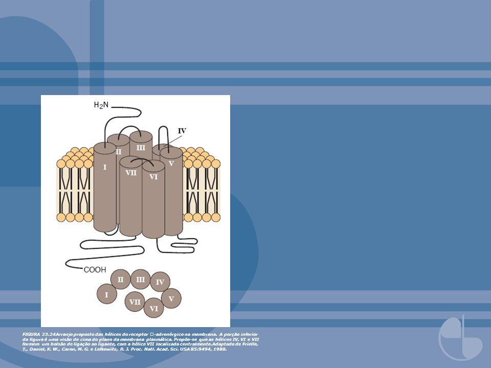 FIGURA 23.24Arranjo proposto das hélices do receptor -adrenérgico na membrana. A porção inferior da gura é uma visão de cima do plano da membrana plas