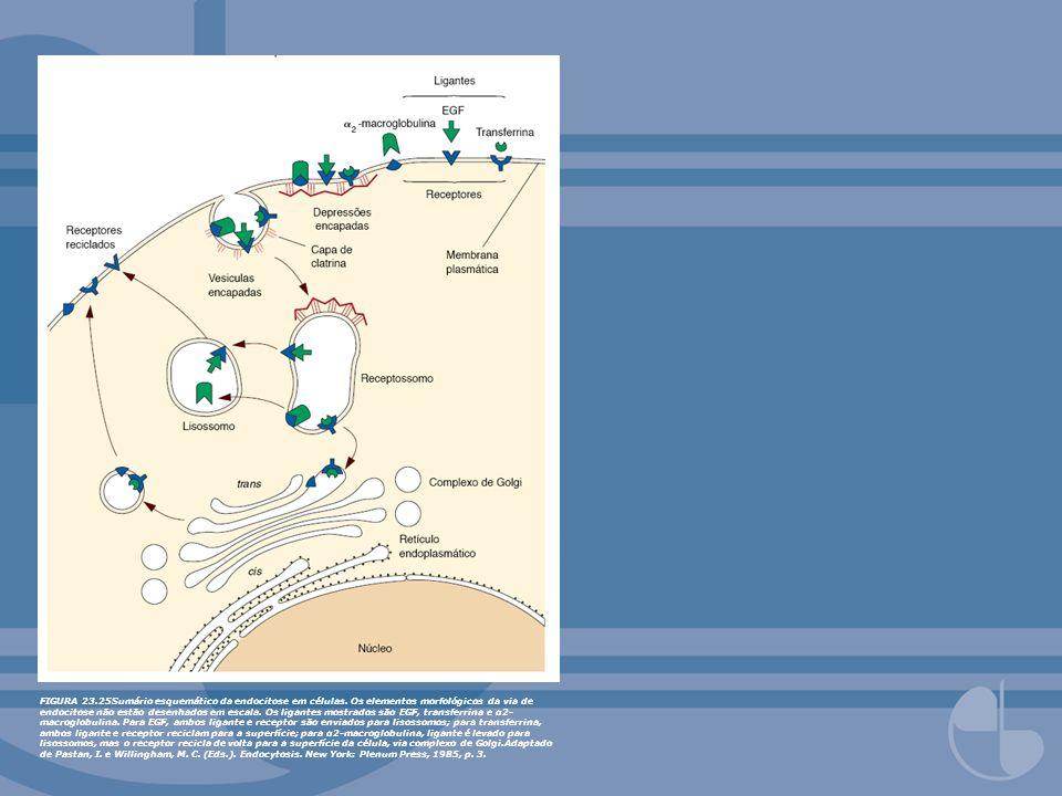 FIGURA 23.25Sumário esquemático da endocitose em células. Os elementos morfológicos da via de endocitose não estão desenhados em escala. Os ligantes m