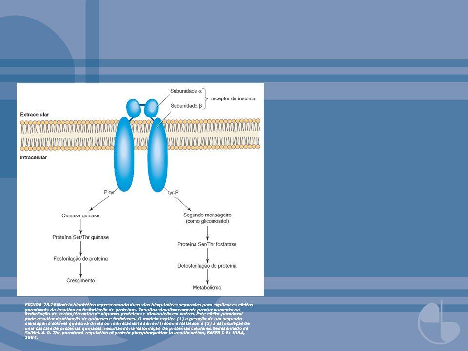 FIGURA 23.28Modelo hipotético representando duas vias bioquímicas separadas para explicar os efeitos paradoxais da insulina na fosforilação de proteín
