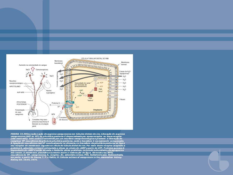 FIGURA 23.30Secreção e ação de arginina vasopressina em túbulos distais do rim. Liberação de arginina vasopressina (AVP ou VP) da pituitária posterior