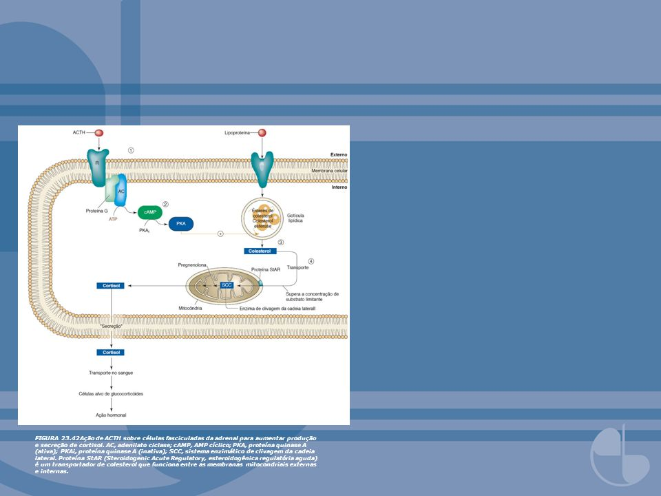 FIGURA 23.42Ação de ACTH sobre células fasciculadas da adrenal para aumentar produção e secreção de cortisol. AC, adenilato ciclase; cAMP, AMP cíclico