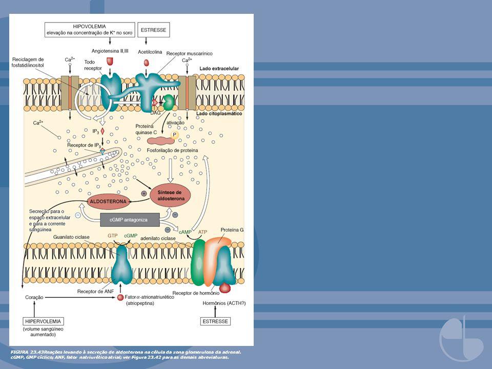 FIGURA 23.43Reações levando à secreção de aldosterona na célula da zona glomerulosa da adrenal. cGMP, GMP cíclico; ANF, fator natriurético atrial; ver