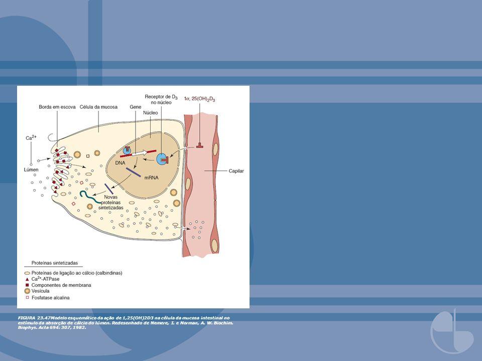 FIGURA 23.47Modelo esquemático da ação de 1,25(OH)2D3 na célula da mucosa intestinal no estímulo da absorção de cálcio do lúmen. Redesenhado de Nemere