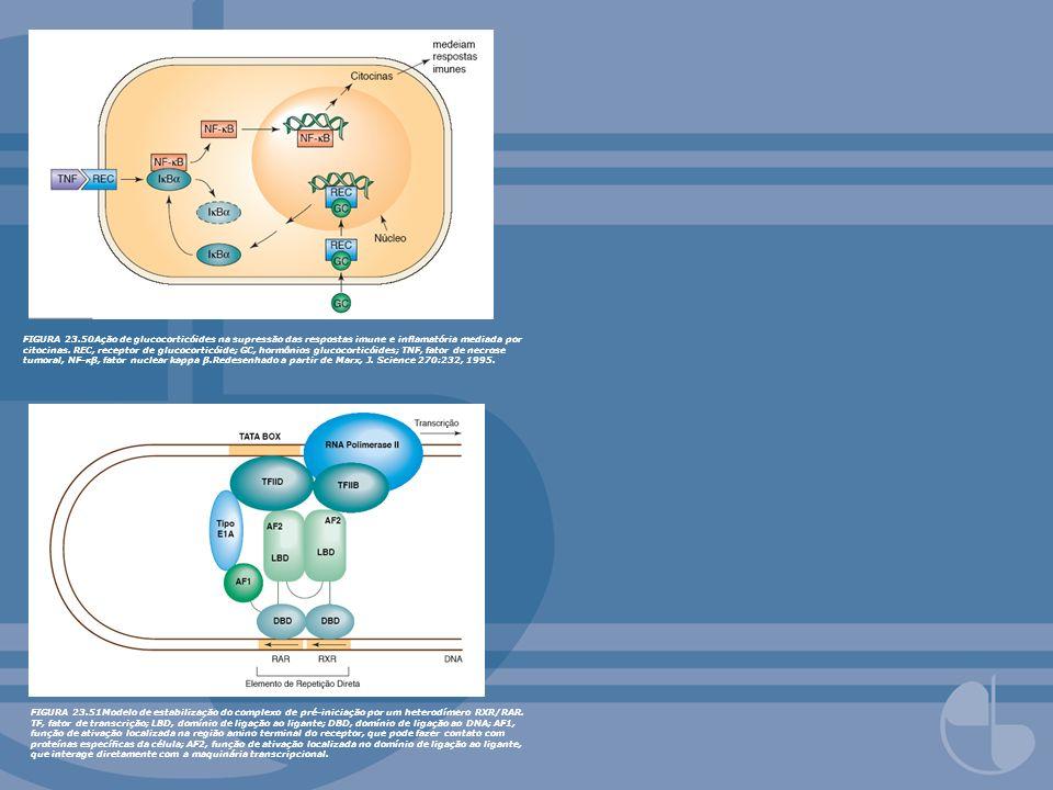 FIGURA 23.50Ação de glucocorticóides na supressão das respostas imune e inamatória mediada por citocinas. REC, receptor de glucocorticóide; GC, hormôn