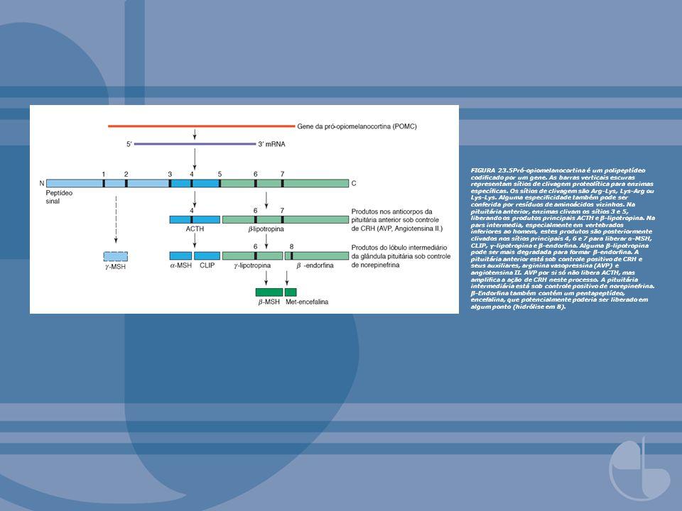 FIGURA 23.5Pró-opiomelanocortina é um polipeptídeo codicado por um gene. As barras verticais escuras representam sítios de clivagem proteolítica para