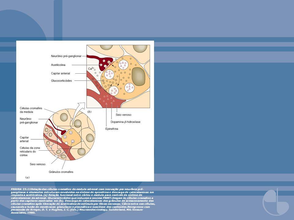 FIGURA 23.11Relação das células cromans da medula adrenal com inervação por neurônio pré- ganglionar e elementos estruturais envolvidos na síntese de