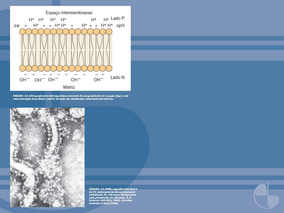 FIGURA 14.49Micrograa eletrônica de F1 mitocondrial.Generosamente cedida por Dr. Parsons. Reimpresso com permissão de Parsons, D. F. Science 140:985,
