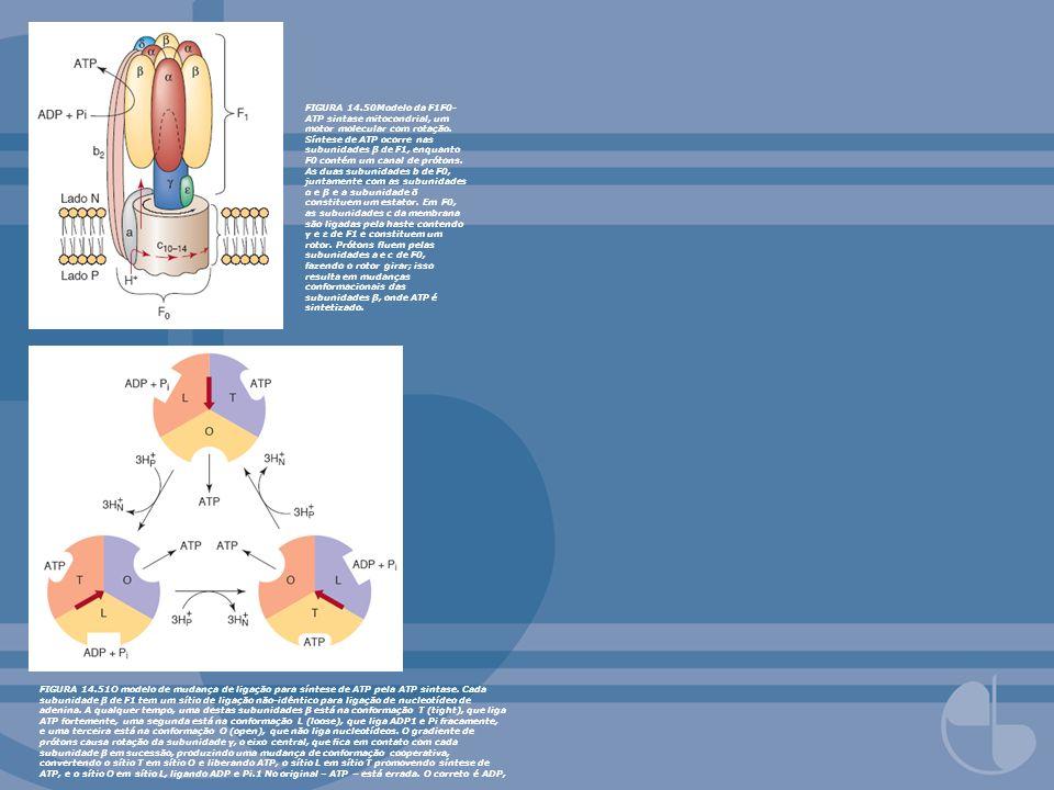 FIGURA 14.50Modelo da F1F0- ATP sintase mitocondrial, um motor molecular com rotação. Síntese de ATP ocorre nas subunidades β de F1, enquanto F0 conté
