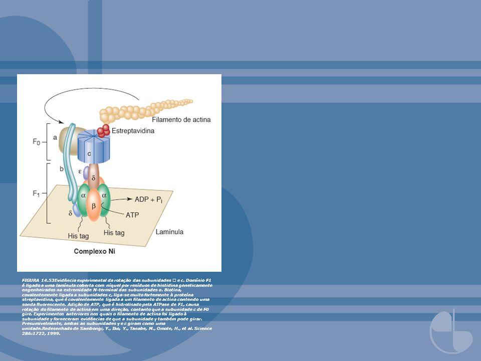 FIGURA 14.53Evidência experimental da rotação das subunidades e c. Domínio F1 é ligado a uma lamínula coberta com níquel por resíduos de histidina gen