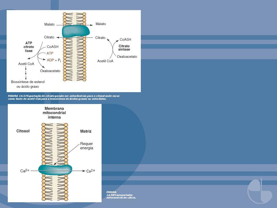 FIGURA 14.57Exportação de citrato gerado em mitocôndrias para o citosol onde serve como fonte de acetil-CoA para a biossíntese de ácidos graxos ou est