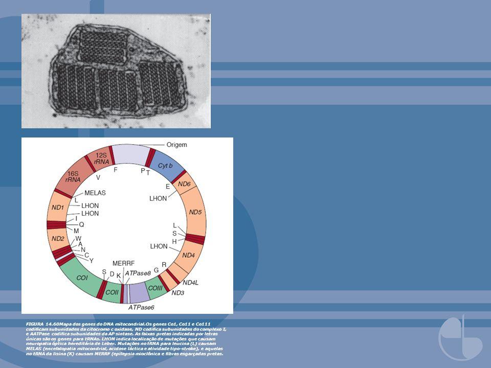 FIGURA 14.60Mapa dos genes do DNA mitocondrial.Os genes Co1, Co11 e Co111 codicam subunidades da citocromo c oxidase, ND codica subunidades do complex