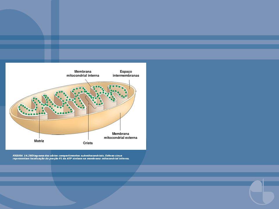 FIGURA 14.54Transportadores mitocondriais de metabólitos.