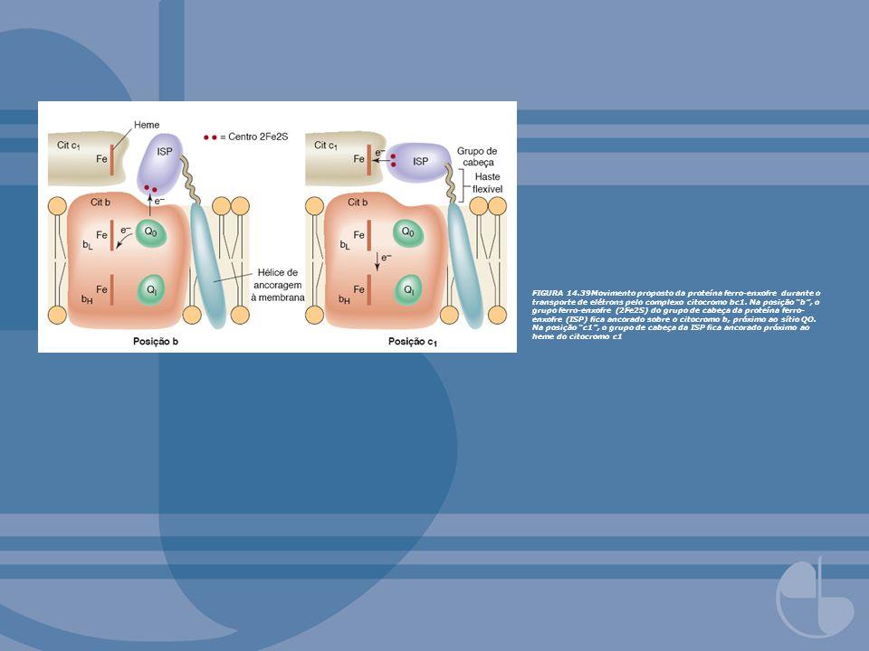 FIGURA 14.39Movimento proposto da proteína ferro-enxofre durante o transporte de elétrons pelo complexo citocromo bc1. Na posição b, o grupo ferro-enx