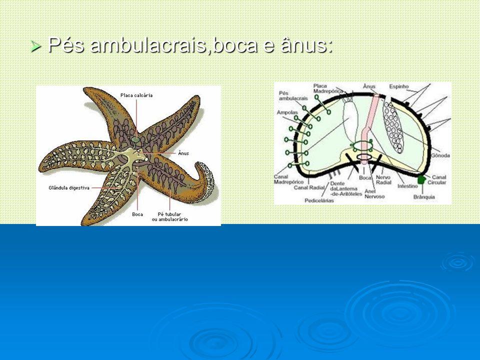 Curiosidades Os equinodermos alimentam-se de pequenos animais e algas.
