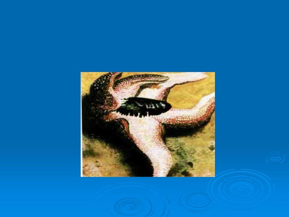 O ouriço-do-mar que se alimenta de algas, tem o aparelho bucal com 5 dentes constituídos de substâncias rígidas.