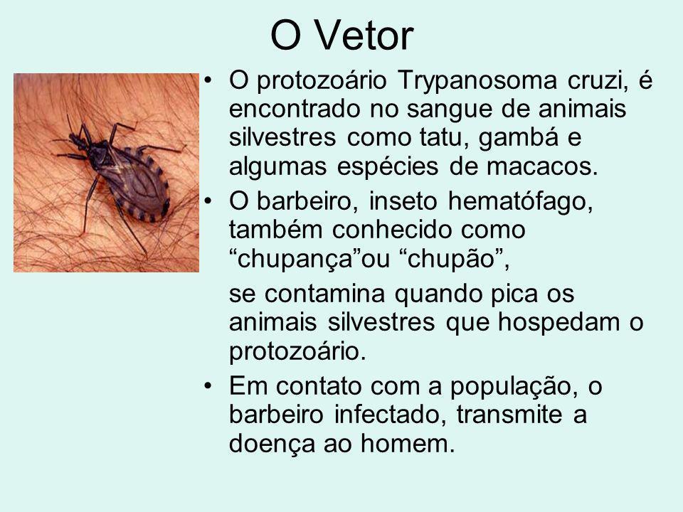 O Vetor O protozoário Trypanosoma cruzi, é encontrado no sangue de animais silvestres como tatu, gambá e algumas espécies de macacos. O barbeiro, inse