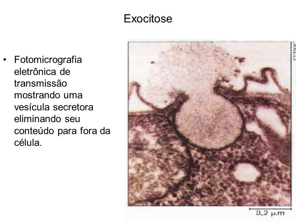 Exocitose Fotomicrografia eletrônica de transmissão mostrando uma vesícula secretora eliminando seu conteúdo para fora da célula.